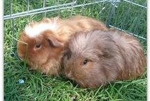 Guinea Pigs / Guinea pigs! I adore our guinea pigs, so sharing all thigns cute and guinea piggy here, from guinea pig care, to guinea pig tips, ideas and cute pics!