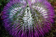 Animal : Sea Urchin