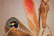 Animal - Insect : Mantis