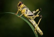 Animal - Insect : Grasshopper