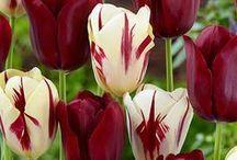 Gardening - Flower : Tulip