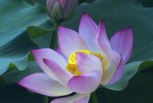Gardening - Flower : Lotus