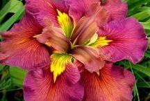 Gardening - Flower : Iris