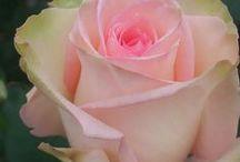 Gardening - Flower : Rose