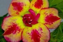 Gardening - Flower : Adenium
