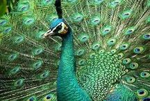 Animal - Bird : Peacock