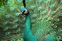 Animal - Bird : Peacock
