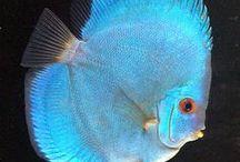 Animal - Fish : Discus