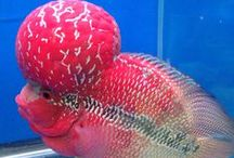 Animal - Fish : Flowerhorn