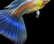Animal - Fish : Guppy