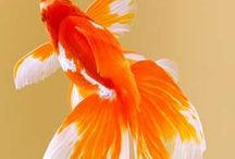 Animal - Fish : Goldfish