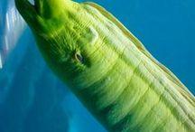 Animal - Eel : Moray