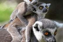 Animal : Lemur