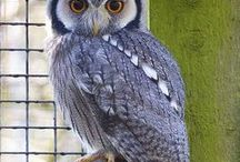 Animal - Bird : Owl