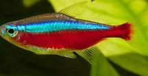 Animal - Fish : Tetra Fish