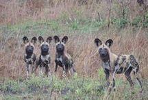 Zambia Safaris / Zambia Safari wildlife - what you can experience....http://www.venture-to-zambia.com/main-safari-areas.html