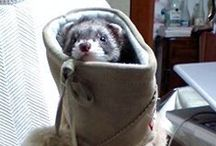 Ferret / Used to have a ferret.  I want to have one again.