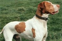 Braque St. Germain Dog / A typical pointer, with a medium build and an attractive fawn and white coat, drop ears, and a long tail which is held level while the dog is working. The Braque Saint-Germain stands 56–62 centimetres (22–24 in) at the withers, females somewhat smaller.