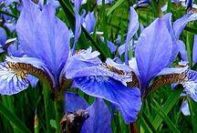 Iris / La mia amata mamma Iris e tutto ciò  che me la ricorda.....