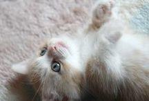 Favorite photos Kiku [Kitten] / These are cute favorite photos of my munchkin [cat]. His name is Kikunosuke.