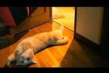 Cute movies Munchkin / I'm making the cute movies of munchkin cats. red tabby and white is Kikunosuke. brown tabby is Rikimaru.
