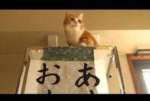 LOL Funny movies Munchkin / I'm making the amusing movies of munchkin cats. Humorous Laughable Fun red tabby and white is Kikunosuke. brown tabby is Rikimaru.