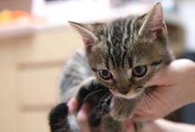Favorite photos Riki [Kitten] / These are cute favorite photos of my munchkin [cat]. His name is Rikimaru.