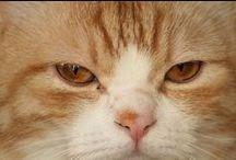 LOL funny photos Kiku / I'm taking the funny photos of munchkin cats. Humorous Laughable Fun red tabby and white is Kikunosuke.