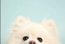 Pomeranian / Lot of fluff in there