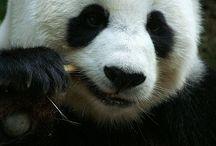 Oh pandas!