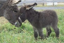 Donkeys and Mules / by judy jefferson