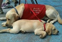 It's a Labs' Life / Labs, labs and more labs