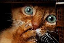 Cat Ⅱ
