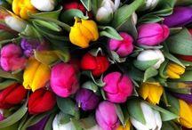 Tulipany - Tulips