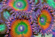 Koralowiec -Ukwiały - Coral