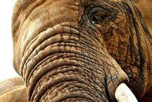 trunk calls / elephants of course