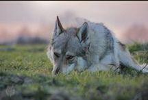 Czechosłowacki Wilczak / Czechoslovakian Wolfdog QUEBECK II od Úhoště Československý Vlčiak