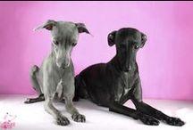 Charciki Włoskie 'Tesori di Carli' / Italian Greyhounds