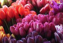 tulipanowe ciekawostki