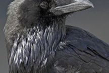 Ravens / Pictures of ravens (corvus corax)