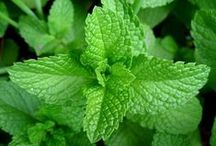 Peppermint Oil / A must-have essential oil known known for its antiseptic, antispasmodic and anti-inflammatory properties.  Peppermint oil is one of the safest oils to use topically.  Peppermint oil combines well with floral, citrus, and herbaceous scents.  Combining peppermint with lavender essential oil in a diffuser will keep you alert, yet relaxed at the same time