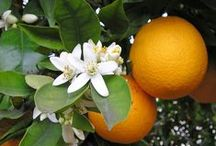 Sweet Orange Essential Oil / One of the favorite oils in aromatherapy, Orange has many wide-scale applications in cosmetic, household, and even industrial products. It has antiseptic, anti-depressant, anti-inflammatory, tonic, and aphrodisiac properties. The smell can instantly infuse energy in a room and stave off depression.It can also be used to get relief from cold, constipation, and gas, and it also helps boost immunity.   www.ovviooils.com