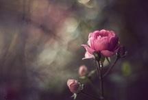 Flowers: Roses / by Lena Diablo