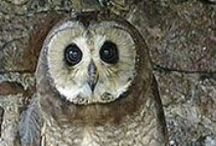 Birds of the world  - Owls / The IOC World Bird List (formerly IOC World Bird Names) provides  bird. species for pinterest My aim is to find pictures of every single species  and pin them on pinterest! Volunteers needed for the classification of birds