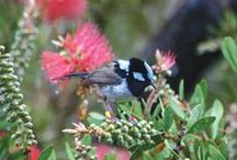 Native Australian Gardens / Old and New planting ideas for growing Native Australian Gardens. #nativeaustraliangardens