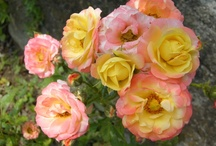 flowers in Castelletto d'Orba