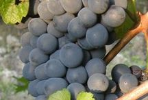 grapes from Tacchino's land