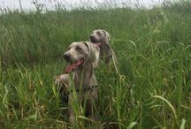 Weimaraners / Our Grey Nobles