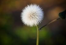 Dandelions / by Stacey Longbon