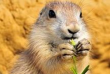 Prairie Dogs / We have a family of active prairie dogs that live at Jungle Gardens.